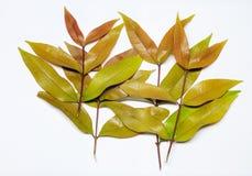 Bruine groene tak van bladeren op witte achtergrond Royalty-vrije Stock Afbeeldingen