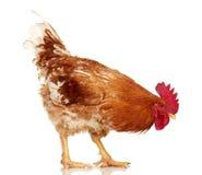 Bruine haan op witte achtergrond, geïsoleerd voorwerp, levende kip, één dier van het close-uplandbouwbedrijf royalty-vrije stock foto