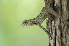 Bruine hagedis die op een boom camoufleren Royalty-vrije Stock Foto's
