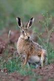 Bruine hazen, Lepus-europaeus Royalty-vrije Stock Fotografie