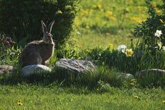 Bruine hazenzitting in een tuin Royalty-vrije Stock Fotografie