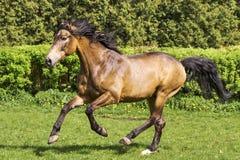 Bruine hengst Hoge Resolutiefoto royalty-vrije stock foto's