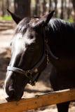 Bruine hengst Hoge Resolutiefoto Het berijden op een paard Stock Foto