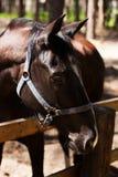 Bruine hengst Hoge Resolutiefoto Het berijden op een paard Royalty-vrije Stock Fotografie