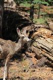 Bruine Herten Stock Fotografie