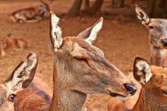 Bruine hertenfamilie van wijfjes stock foto's