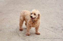 Bruine hond Stock Afbeeldingen
