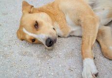 Bruine hond Royalty-vrije Stock Foto's