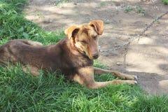 Bruine hond die op het gras liggen stock foto's