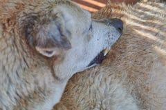Bruine hond die vlo in bont zoeken stock fotografie