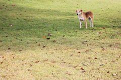 Bruine hond die zich op het gras met droge bladeren bevinden Royalty-vrije Stock Fotografie