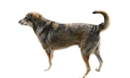 Bruine hond met witte achtergrond Royalty-vrije Stock Afbeelding