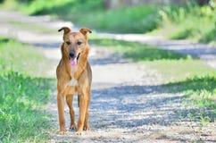 Bruine hond op de weg Royalty-vrije Stock Fotografie