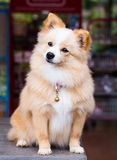 Bruine hond status die vooruit eruit zien Stock Afbeeldingen