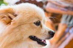 Bruine hond status die vooruit eruit zien Royalty-vrije Stock Foto