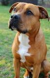 Bruine hond-stier terriër Royalty-vrije Stock Fotografie
