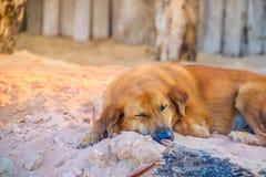 Bruine hondenslaap op de zandduinen in de ochtend stock fotografie