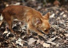 Bruine honds leuke diepe toewijding van het dieren de mooie ras royalty-vrije stock foto's