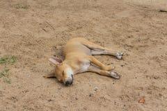 Bruine hondslaap op het zand Stock Foto's