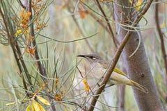 Bruine Honeyeater-vogel met geel bosje achter oog die op tak in bos, Westelijk Australië neerstrijken stock fotografie