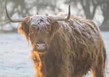 Bruine hooglandkoe op een ijzige ochtend Royalty-vrije Stock Foto's