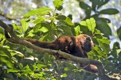 Bruine huilende aap op de boombovenkant stock afbeelding