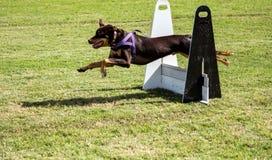 Bruine huisdierenhond die over het rennen hinderniscursus springen die purpere uitrusting dragen Stock Afbeeldingen