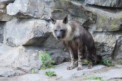 Bruine hyena Royalty-vrije Stock Foto's