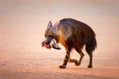 Bruine hyena met knuppel-eared vos in mond Royalty-vrije Stock Afbeeldingen