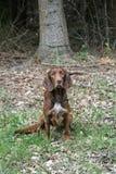 Bruine Jachthond stock fotografie