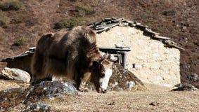 Bruine Jakken - de bergen van Nepal Himalayagebergte royalty-vrije stock foto