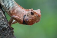 Bruine kameleonclose-up tegen groene achtergrond royalty-vrije stock fotografie