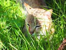 Bruine kat Royalty-vrije Stock Foto's