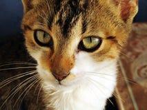 Bruine kat met groene ogen Royalty-vrije Stock Foto's