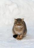 Bruine kat op de witte sneeuw Stock Foto's