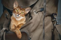 Bruine kattenzitting in backpacker Royalty-vrije Stock Foto's