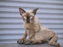 Bruine kattenzitting op het dak van auto met streeplijn op achtergrond Stock Afbeelding