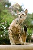 Bruine kattenzitting op muur Stock Foto