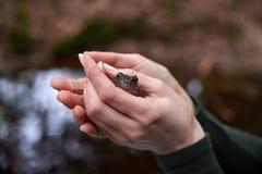 Bruine kikker in de handen van de vrouw stock foto's