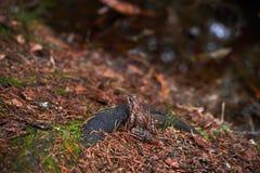 Bruine kikker in het bos stock foto's