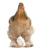 Bruine Kip Brahma en haar kuiken Stock Afbeelding