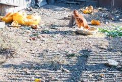 Bruine kip die in een rustieke binnenplaats eten Stock Afbeeldingen