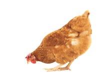 Bruine kip die geïsoleerde witte achtergrond voeden Stock Foto's