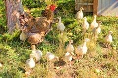Bruine kip en troep van kuikens dichtbij kippenhok royalty-vrije stock afbeelding