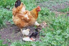 Bruine kip met kippen die voedsel in de tuin en D zoeken stock foto's