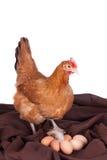 Bruine kip met zes eieren op een bruine doek Royalty-vrije Stock Afbeeldingen