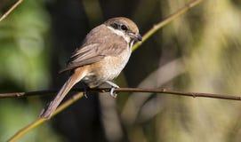 Bruine Klauwier, Brown Shrike, Lanius cristatus. Tweede kalenderjaarBruine Klauwier, Second calendar-year Brown Shrike stock photos