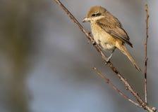 Bruine Klauwier, Brown Shrike, Lanius cristatus. Tweede kalenderjaarBruine Klauwier, Second calendar-year Brown Shrike stock photography