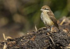 Bruine Klauwier, Brown Shrike, Lanius cristatus. Tweede kalenderjaarBruine Klauwier, Second calendar-year Brown Shrike stock photo