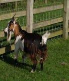 Bruine kleine geit Stock Afbeelding